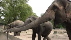 4k Asian Elephants feeding in animal park - stock footage