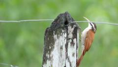 Narrow-billed woodcreeper, 4k Stock Footage