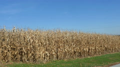 2508 Golden Corn Field with Blue Sky, 4K Stock Footage