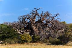 A big african baobab standing on kubu island in botswana. Stock Photos