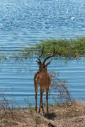 Impala standing on riverfront chobe, botswana, africa. after drinking water. Stock Photos