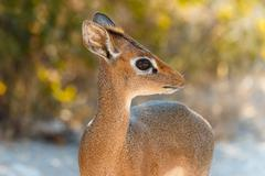 Adorable antelope, 40 cm high and 3-6 kg. staring with her big eyes. Stock Photos