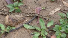Venomous snake, Pantanal, 4k Stock Footage