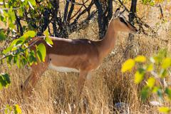 Black-faced impala between grass and trees namibia. endangered specie africa. Stock Photos