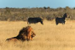 Lion licking his mouth, zebras in background have no fear. Stock Photos