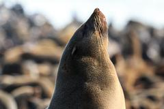 a cape fur seal enjoying every minute of the sunshine at the atlantic ocean i - stock photo