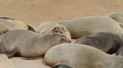 Fur seal colony Cape Cross Stock Footage