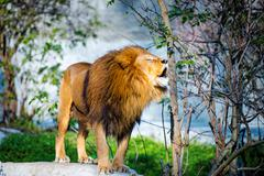 Mighty lion roars in the forest - stock photo