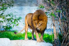 Mighty Lion - stock photo