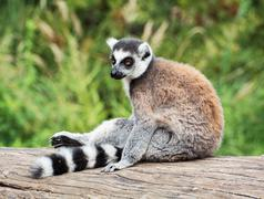 ring-tailed lemur sitting on the tree stump - stock photo