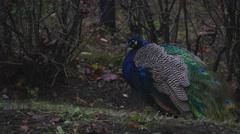 peacock peck grains - stock footage