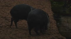 small black pigs walking in twilight - stock footage
