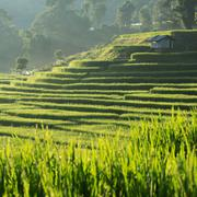 paddy rice fields of agriculture plantation, chiangmai, thailand - stock photo