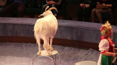 Goat in the circus Stock Footage