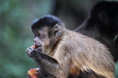 tufted capuchin (cebus apella) - stock photo