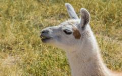 chewing white lama in the andes mountains - stock photo