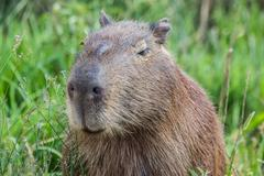 portret of a capybara in the swamp of esteros del ibera - stock photo