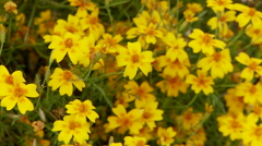 Closeup Of Yellow Cosmos Flower in Beautiful Garden Stock Footage