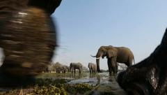 African Elephant walking very close past camera Stock Footage
