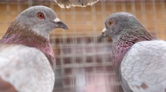 Closeup of Pigeons in the cage Stock Footage