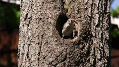 Tufted Titmouse coming out of hole in tree and flying away. Stock Footage