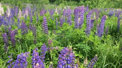 Field of lupines Stock Footage