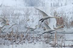 Whooper swan (cygnus cygnus) in winter Stock Photos