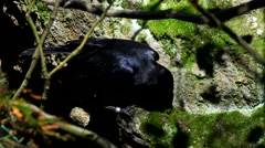 Stock Video Footage of (common) raven - Corvus corax