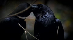 (common) raven - Corvus corax - stock footage