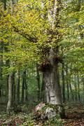big deciduous tree in a dense forest - stock photo