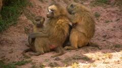 baboon animal wild safari park zoo nature - stock footage