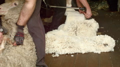 Shearers Shearing Merino Sheep On An Australian Farm Stock Footage