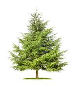 isolated cedar tree on a white background - stock photo