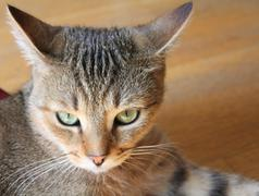 Angry cat portrait Stock Photos