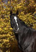 Stock Photo of black horse with blaze