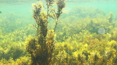 Underwater sea exotic tropical scene with with fishes and duckweed Stock Footage