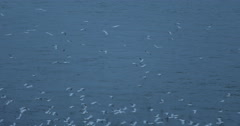 Albatross Seabird Flying Seagull Fly Over River Water Wild Birds Crowd Migration Stock Footage