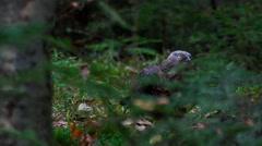 European honey buzzard - Pernis apivorus Stock Footage