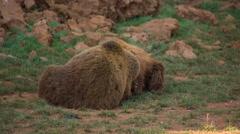Bear wild animal nature mammel Stock Footage