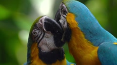 Blue-and-yellow macaw - stock footage