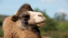 Camel desert wild animal mammel nature incredible species Stock Footage