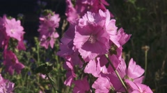 Malva, musk-mallow blooming with five pink petals in summer breeze. Stock Footage