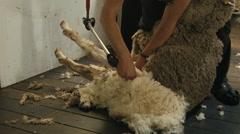 Shearer Starting to Shear A Sheep - stock footage