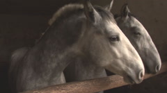 Two Grey Horse Stock Footage