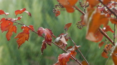 Streaking raindrops and red leaves--4K - stock footage