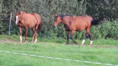 Two pregnant horses walking on the meadow Stock Footage
