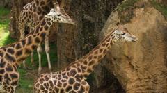 Giraffe wild animal mammel nature incredible species Stock Footage
