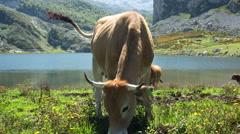 Picos de europa covadonga lakes cows mountains spain summer Stock Footage