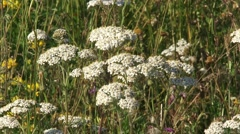 White disc flowers of Achillea millefolium, Yarrow in summer meadow Stock Footage