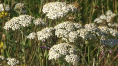 White disc flowers of Achillea millefolium, Yarrow in summer breeze - close up Stock Footage
